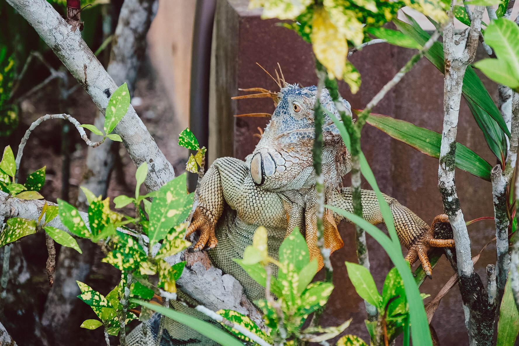 Nationalpark_Tortuguero_Nationalpark_Tortuga Lodge_Leguan